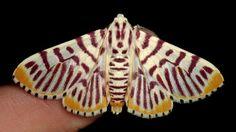 Rare Crambid Moth from Ecuador.