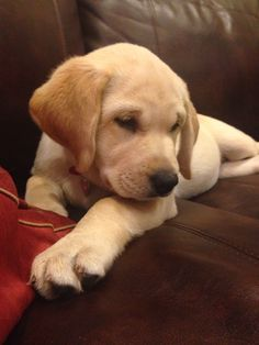 Cutest puppy award goes to River! Cutest Puppy, Snoopy Love, Labrador Retrievers, Black Labs, Quilted Vest, Happy Dogs, Girls Best Friend, Make Me Smile, Cute Puppies