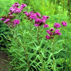 Ironweed (Vernonia fasciculata)