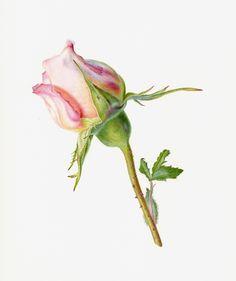 Botanical illustration of a rosebud in watercolour