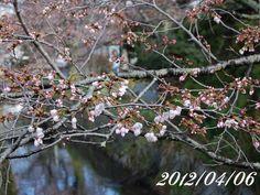 京都 哲学の道 桜 2012/04/06
