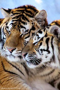 ~~Luv luv luv IV ~ Male & Female Amur Tigers by ~Eltasia~~