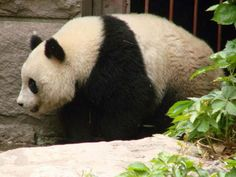 panda in chengdu
