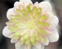 Hepatica japonica Beni Hagure
