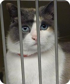 Zanesville, OH - Siamese. Meet 9533 Belle (blue eyes-stunning), a cat for adoption. http://www.adoptapet.com/pet/12719555-zanesville-ohio-cat