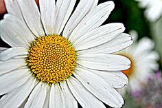 HD daisy