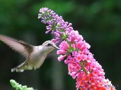 hummingbird and butterfly bush