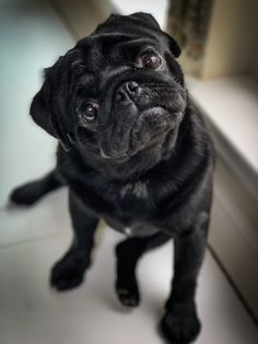 Pugs have the kindest most sweetest eyes ? Pictures Of Pug Puppies, Black Pug Puppies, Pug Pictures, Dog Photos, Cute Pugs, Cute Puppies, Grumble Of Pugs, Pugs For Sale, Dog Cuddles