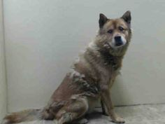 TO BE DESTROYED - 12/24/14 Brooklyn Center My name is HAL. My Animal ID # is A1023342. I am a male tan chow chow mix. The shelter thinks I am about 6 YEARS old. For more information on adopting from the NYC AC&C, or to find a rescue to assist, please read the following: http://www.urgentpetsondeathrow.org/must-read/