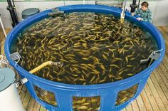 AQUAPONIC-FISH-FARMER.jpg (832×552)