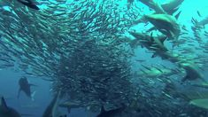 Sardine Run Port St Johns South Africa