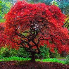 Image result for Acer palmatum 'Autumn Fire'
