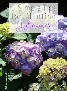 5 Simple Tips for Planting Hydrangeas