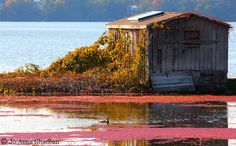 The cranberry harvest will be soon! #cranberryharvest #capecod www.capecodrelo.com