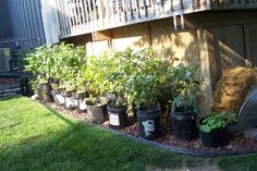 EXCITING - can't wait til my maters are ready and my peppers too.That's a pumpkin on the end - and there are 2 containers of potatoes.  I just have figured out how to grow a cow from a 5 gallon bucket yet.