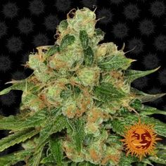 Barney's Farm thoughtfully created these regular medical for both old-school growers and would-be Medical Marijuana, Cannabis, Flower Structure, Light Cycle, Powdery Mildew, Harvest Time, Seeds, Plants, School