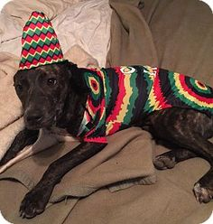 Hagerstown, MD - Whippet/Terrier (Unknown Type, Medium) Mix. Meet Lil'bit, a dog for adoption. http://www.adoptapet.com/pet/17206496-hagerstown-maryland-whippet-mix