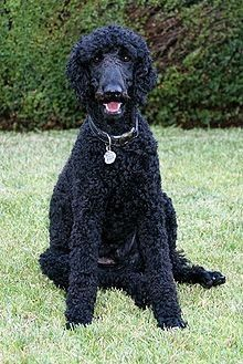 Standard poodles really do laugh!