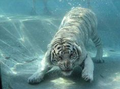 white tigers with blue eyes - Google Search