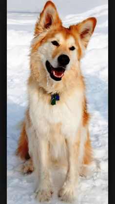Golden retriever malamute mix is almost perfect!! I want!