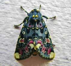 Lilly moth