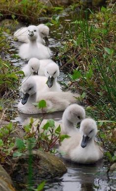 Beautiful baby swans.