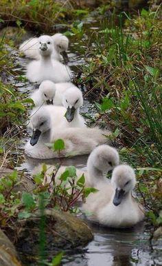 Beautiful baby swans