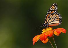 Monarch butterfly on an orange zinnia #buterfly  #flower