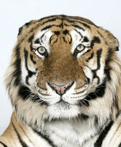 In pictures: The four faces of the Bengal tiger (Raja, 16 yr old male Royal Bengal Tiger) J