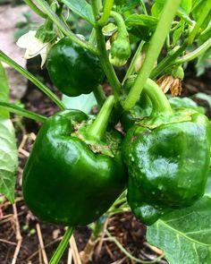 By kleintiereonline.de. . Vom regnerischen Wetter genug: Peperoni. Diese Pflanze gehört wie Chili zur Gattung der Paprika und ist ein Nachtschattengewächs. Peperoni lieben sonnige Standorte. Giess-oder auch Regenwasser sollten gut abfliessen können. . #peperoni #paprika #nachtschattengewächs #witterungsverhältnisse #standortansprüche #pflanzenernährung #peperoniblüten #mistgabe #blattkrankheiten  #wurzelbildung. . Welche Arten der Paprika bevorzugen Sie? Chili, Stuffed Peppers, Vegetables, Food, Nth Root, Berries, Weather, Red Peppers, Fruit