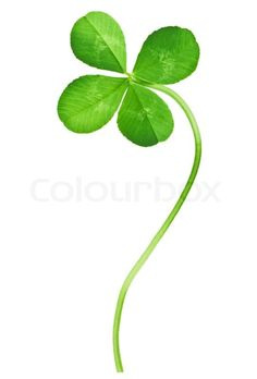 Stock image of 'Four Leaf Clover isolated on white'