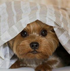 "Peek-a-boo Yorkie. ""Evie the Yorkie"" Yorkies, Yorkie Puppy, Yorky Terrier, Yorshire Terrier, Cute Puppies, Cute Dogs, Dogs And Puppies, Dalmatian Puppies, Baby Animals"