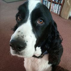 For all dog selfie lovers out there, check this app for taking dog selfies! Springer Spaniel Puppies, English Springer Spaniel, Taking Dog, Dog Selfie, Spaniels, All Dogs, Selfies, Lovers, App