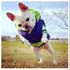 French Bulldog in action!