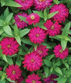 Zinnia, Zahara Double Cherry