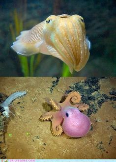 octopus + cuttlefish