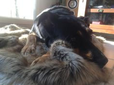 Charlie with a Faux Fur Husky Blanket #happydog #dog #happycustomer