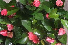 Antúrio: Colorida e chamativa, a planta fica bem em áreas internas ou externas, desde que o local possua boa luminosidade, mas sem receber d...