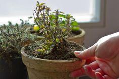 Frische Kräuter trocknen - Tipps & Tricks @ diybook.at Tricks, Plants, Drying Herbs, Fresh, Plant, Planets