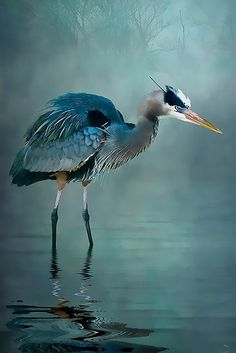 Blue Bayou by Tarrby - Blue heron photo manipulated in Photoshop - gorgeous! Pretty Birds, Love Birds, Beautiful Birds, Animals Beautiful, Small Birds, Animals Amazing, Pretty Animals, Blue Heron, Exotic Birds