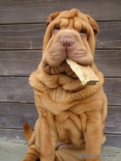 Yep they love wood😁 Cute Dogs And Puppies, Baby Puppies, I Love Dogs, Pet Dogs, Dog Cat, Doggies, Dalmatian Puppies, Cachorros Shar Pei, Shar Pei Puppies