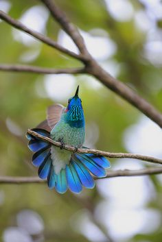 Colibri serrirostris :: White-vented violet-ear by http://ecologiasocial.multiply.com/, via Flickr