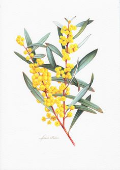 Acacia - For Friendship Australian Wildflowers, Australian Native Flowers, Australian Plants, Australian Art, Botanical Drawings, Botanical Prints, Flower Drawings, Art Floral, Tattoo Ideas