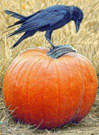 Black Crow Sitting on Pumpkin photography nature scary black bird pumpkin halloween wildlife crow