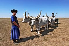 Endangered Hungarian grey cattle and herdsmen in traditional dress at Hortobagy National Park in eastern Hungary