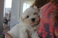 cuddle, cute, dog, maltese