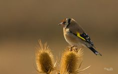 Saka  European Goldfinch  Carduelis carduelis  Animals photo by dogandede http://rarme.com/?F9gZi