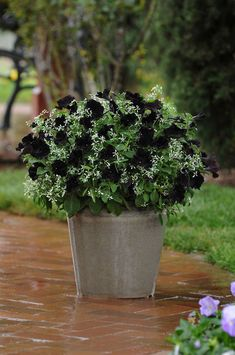 Petunia 'Black Velvet' with Euphorbia 'Breathless' . ♥ it - for the white urns by my front door! Container Flowers, Flower Planters, Garden Planters, Outdoor Plants, Outdoor Gardens, Gothic Garden, Garden Yard Ideas, Garden Inspiration, Gardens