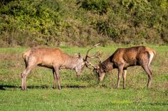 Fighting young deers #young #deer #wildlife #nature #fight #animal #animale #mammal #mammifero #corna #combattimento #nature #natura #grass #green #photo #photography #fliiby #images #yyazilim #people #nature
