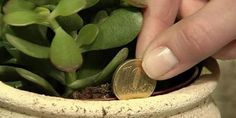 THIS JADE PLANT IN THE HOUSE ATTRACTS MONEY LIKE A MAGNET